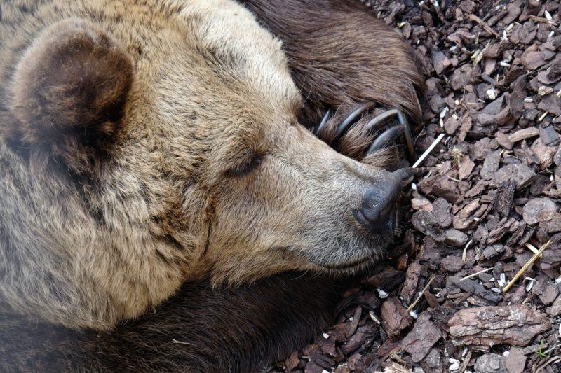 冬眠するクマ